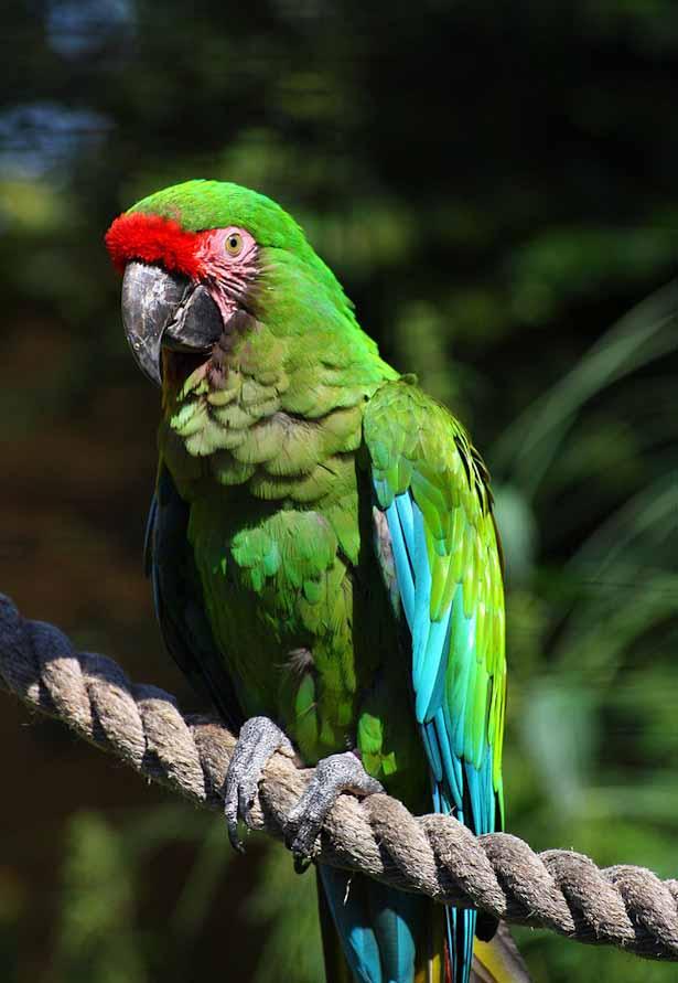 Military Macaw at Puerto Vallarta Botanical Gardens