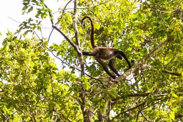 Howler Monkeys!! Guatemala Mayan Ruins