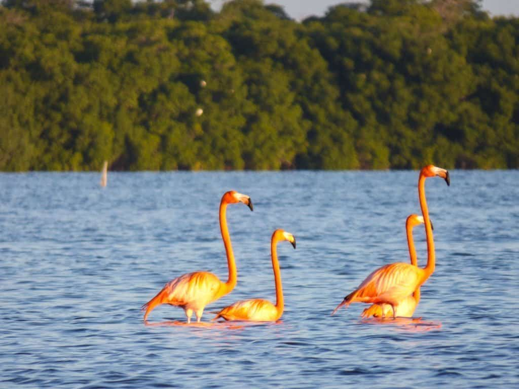 Flamingos in Yucatan Mexico