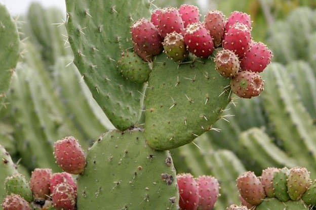 Cactus It S What S For Dinner
