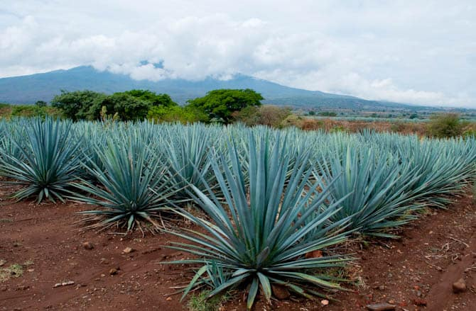 blue agave mexico