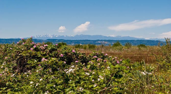 Wild roses on Jetty Island