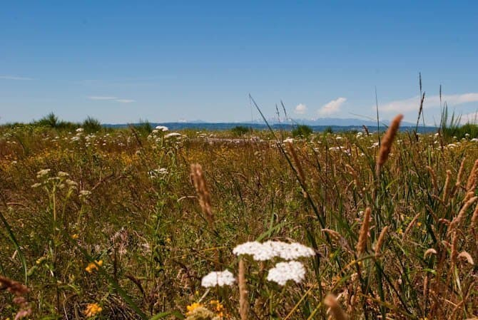 wild grasses and flowers on Jetty Island