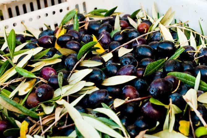 Olives grown in Sirince Turkey