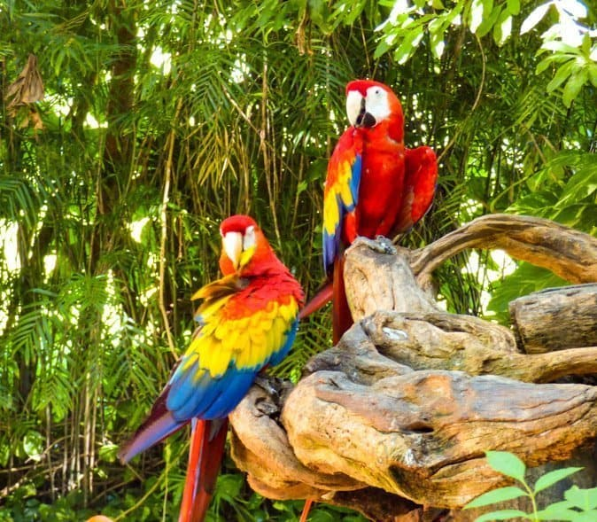 Two colorful parrots at Xcaret theme park Playa del Carmen