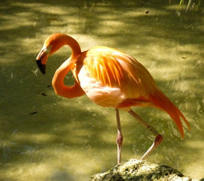 Pink flamingo at Xcaret Eco Park