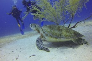Scuba divers and a turtle