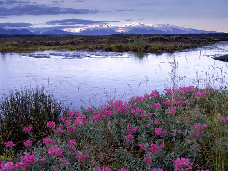 Summer wildflowers in front of a lake in Iceland at dusk