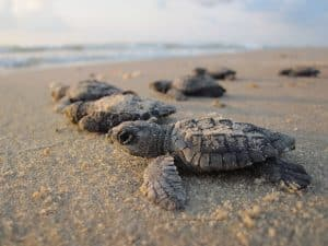 Baby turtles on the sand