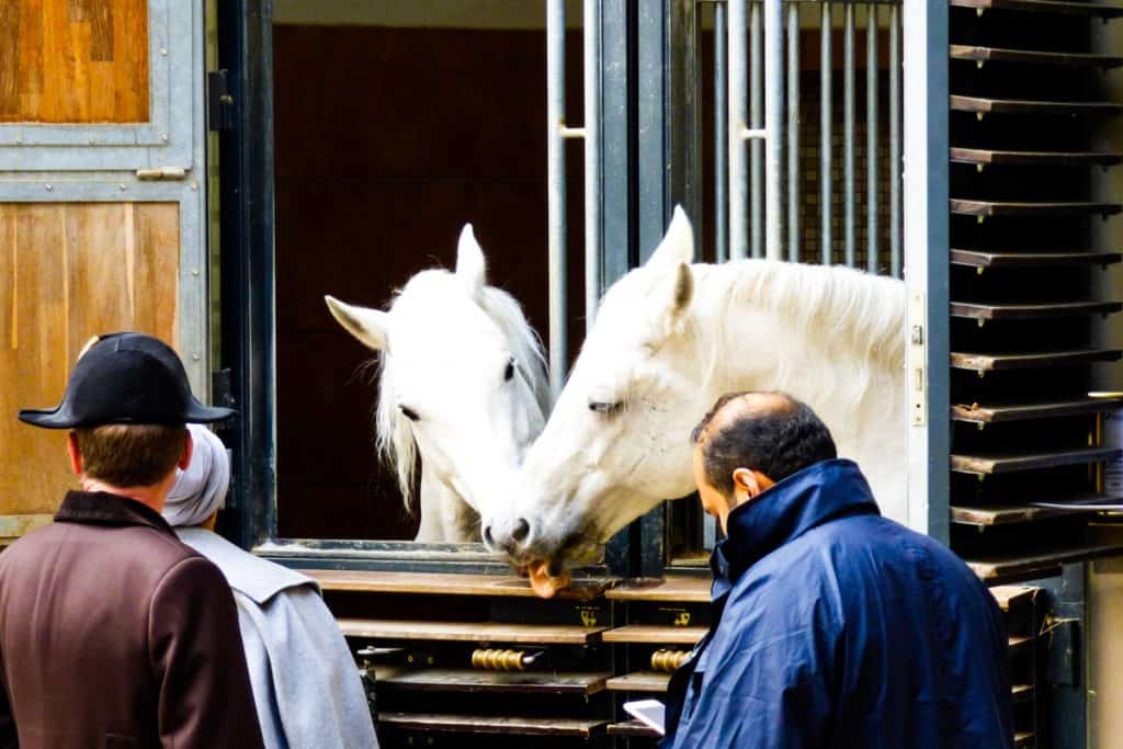Two of the Royal Lipizzaner Stallions