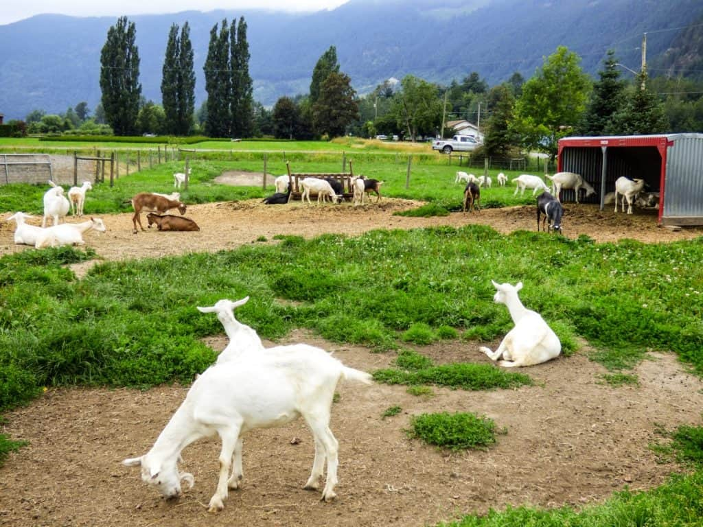 Goats at the cheesery in Harrison