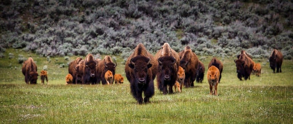 Adult and baby Bison in Yellowstone in Spring