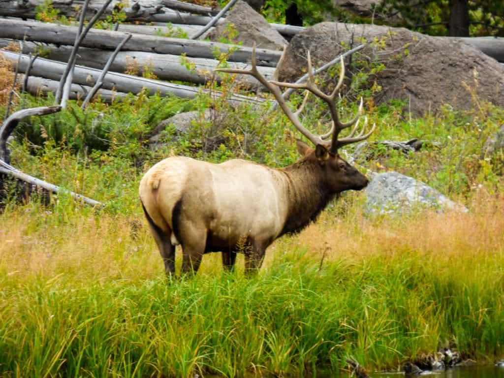 Elk in Yellowstone in fall