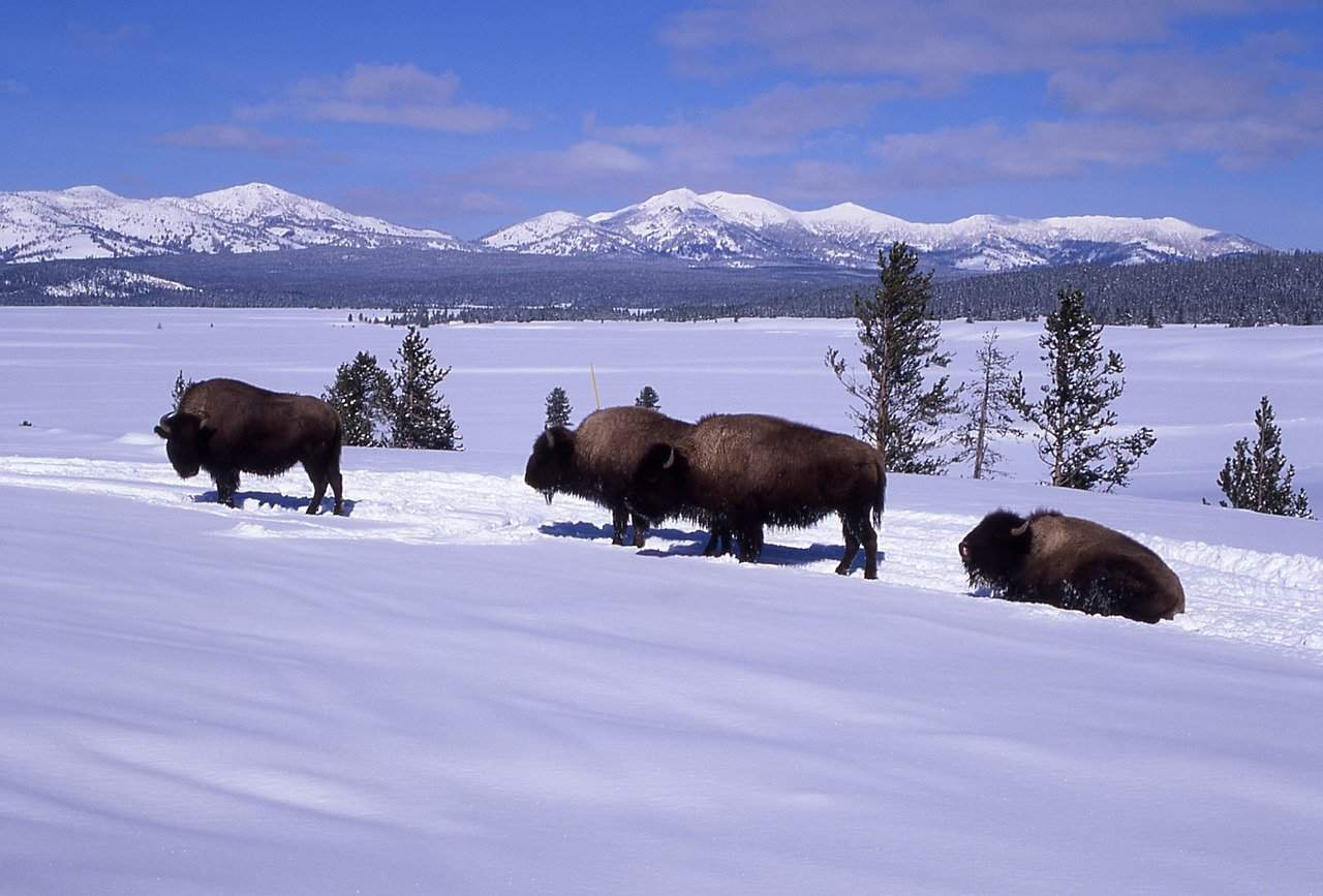 Bison in the snow at Yellowstone near Jackson Hole in winter