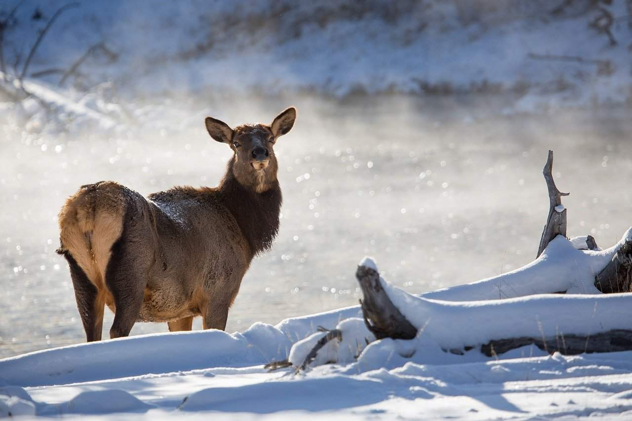 Female elk in the snow