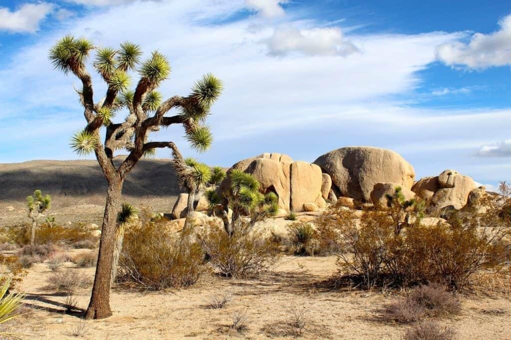 Yuuca plant and rock formations at Joshua Tree National Park